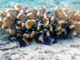 Le lagon de Flic en Flac accueille une pépinière de coraux