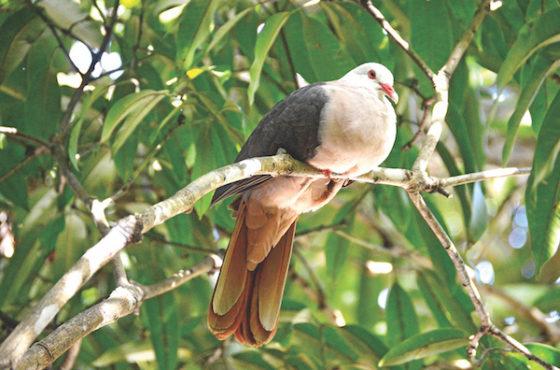 Succès pour l'élevage du pigeon des Mares