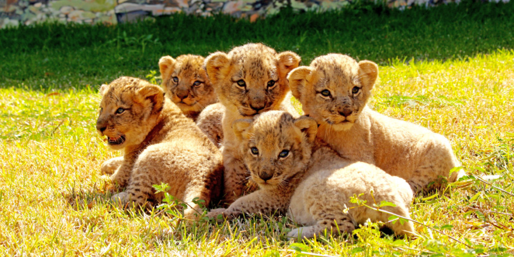 Safari Adventures à Maurice: Cinq lionceaux s'ajoutent à la famille