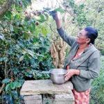 Mme Marianne Casimir cueillant les cerises