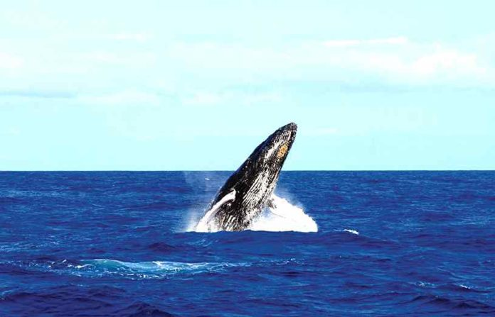 Baleine à Maurice